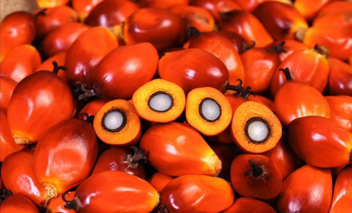 Frutos de la palma aceitera africanao Elaeis guineensis, de losque se extra el aceite de palma. Las mayores plantaciones se encuentran en el Sudeste asiático.