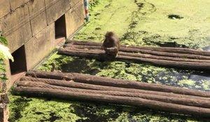 Un mico devora ànecs en un zoo davant de l'angoixa dels visitants