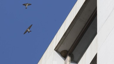 La colonia de golondrinas más pujante de Barcelona se refugia en el Banc de Sang