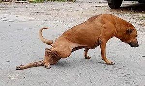 Una perra finge estar coja para llamar la atención de las personas y conseguir comida