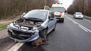 Els senglars causen uns 2.000 accidents de trànsit a l'any a Catalunya