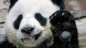 La mort d'un panda a Tailàndia irrita els xinesos