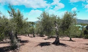 Plantación de olivos en la región italiana de Umbria, una de las principales zonas productoras del país.