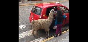 Una llama montando en un taxi en Perú.
