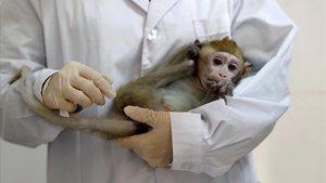 Imagen de archivo de un macaco editado genéticamente en un experimento realizado en enero del 2019 para estudiar los trastornosdel ritmo circadiano