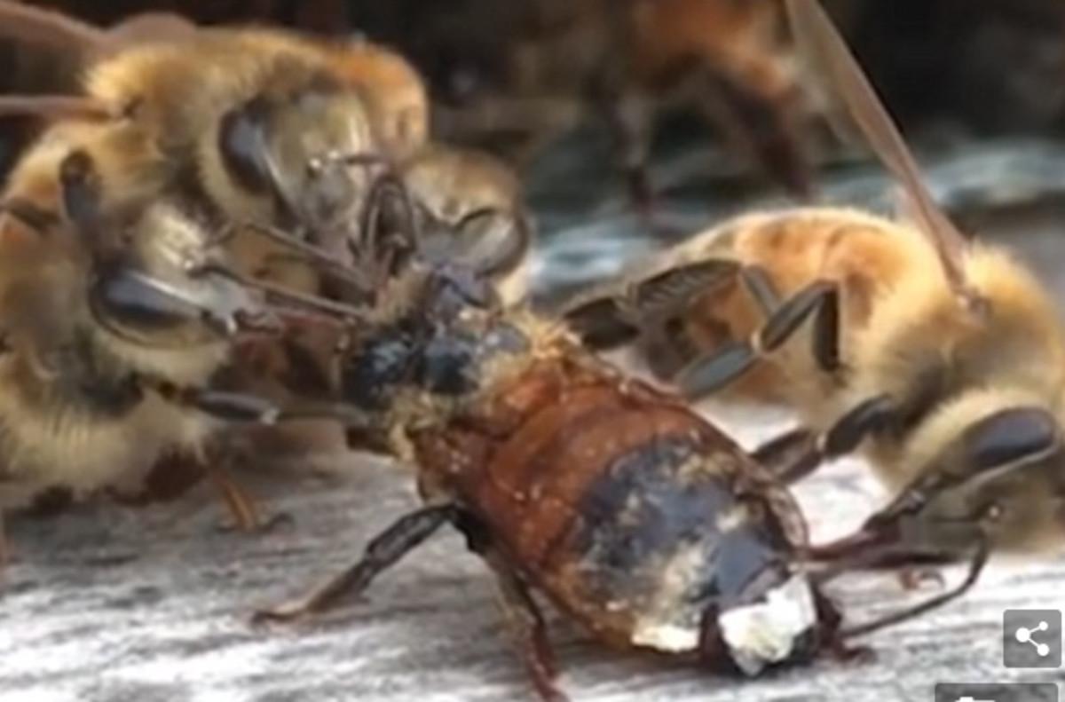 Unas abejas limpian las alas de una compañera que cayó a un depósito de miel.