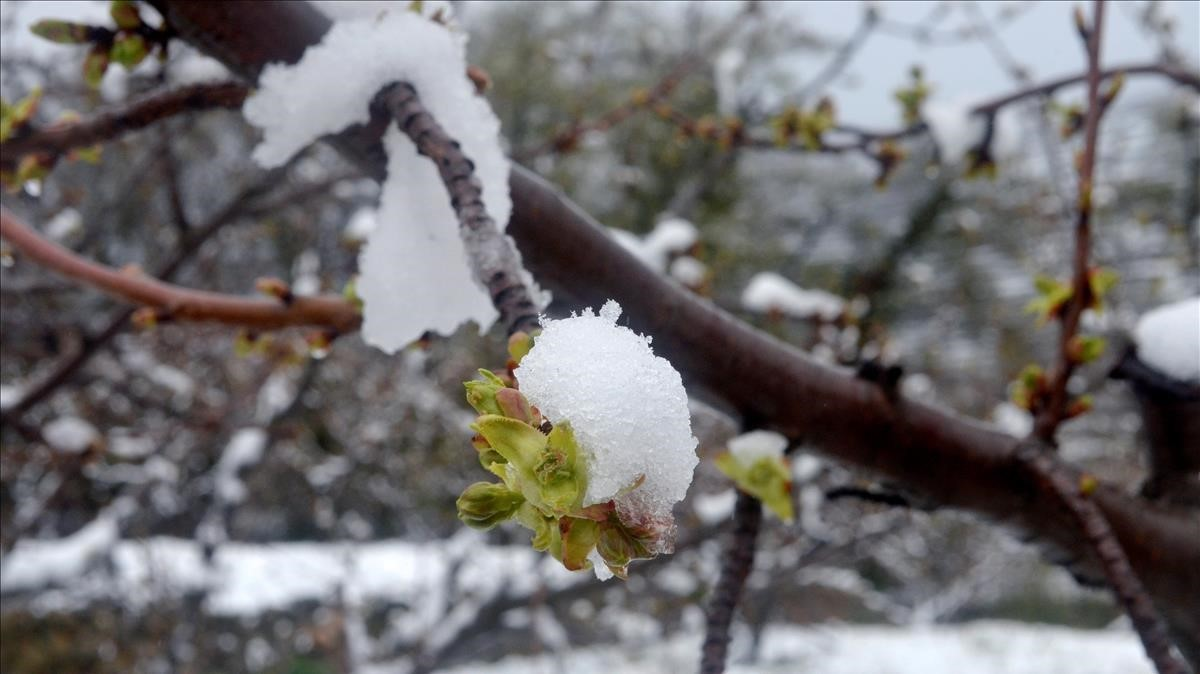 Los cerezos en flor del Jerte, más blancos que nunca debido a la nieve.