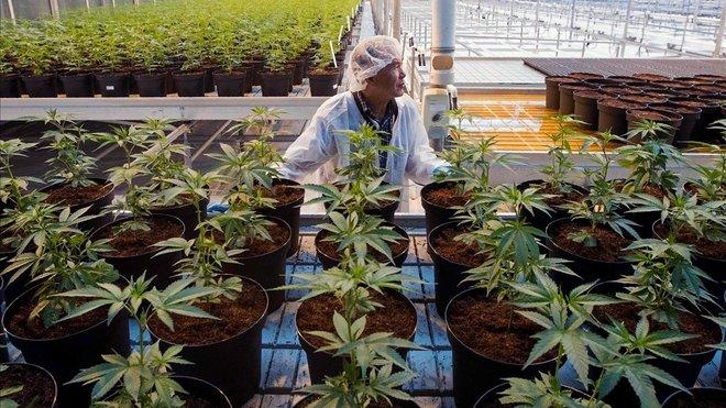 La legalització del cànnabis, a debat