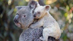 Una cría de koala blanca es fotografiada en el Zoo de Australia.