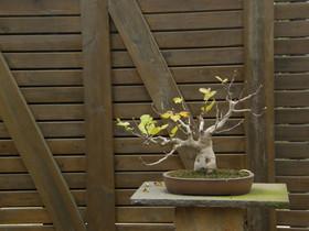 El Jardí Botànic acoge, el sábado, 22, y el domingo, 23, una muestra de 40 bonsáis de coleccionista.