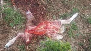 Restos del potro de dos días atacado por el osoGoiat en el municipio de Vilamós.