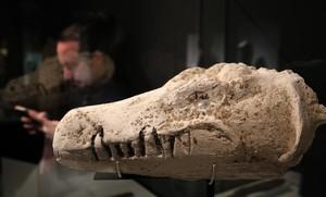Máscara procedente de una momia de cocodrilo, en la exposició Animales sagrados, del Museu Egipci.