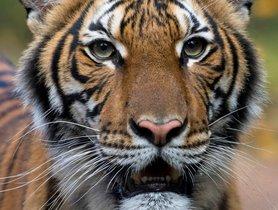 Nadia, la tigresa del zoo del Bronx, que ha dado positivo por coronavirus.