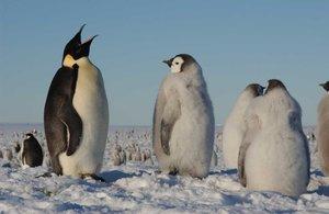 Aumenta la presencia de pingüinos emperador en la Antártida.