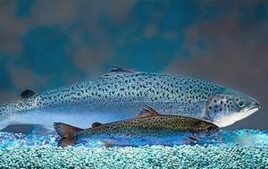 Un salmón transgénico (arriba) y uno convencional de la misma edad.