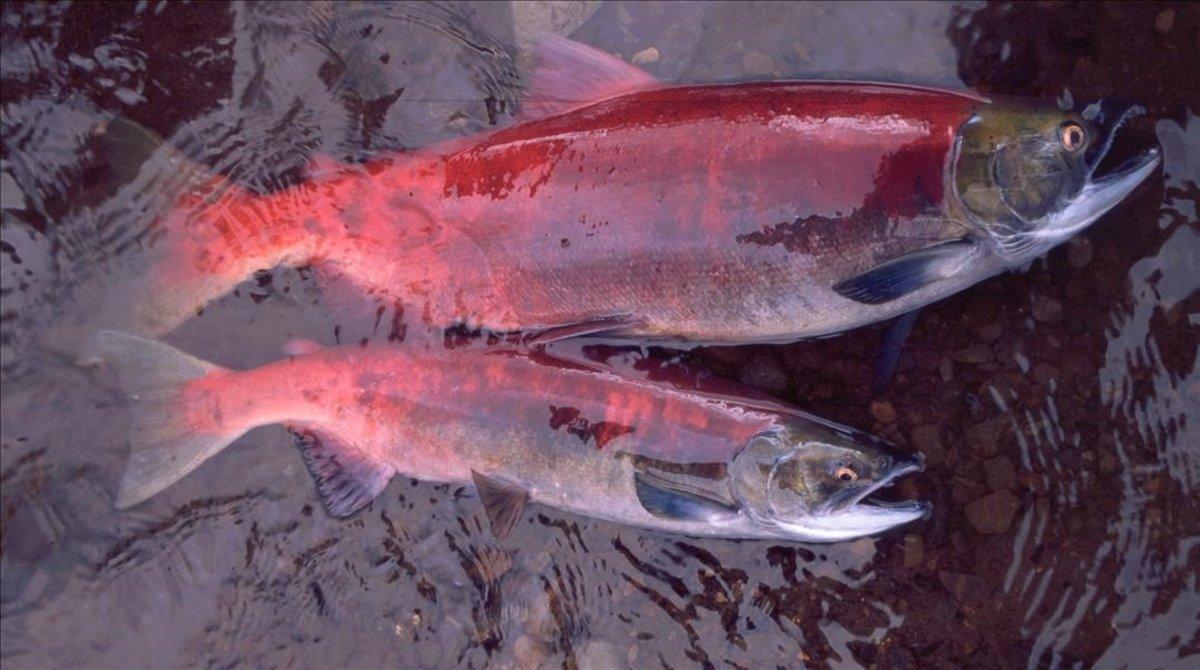 Salmones de Alaska, con un año de edad de diferencia entre ellos.