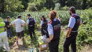 ARCHIVO / Imagen de una operación reciente en Vilademuls, donde desmantelaron18.000 plantas de marihuana.