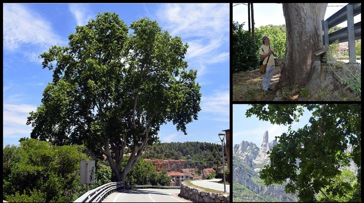 El plàtan de Gibert, a Monistrol de Montserrat