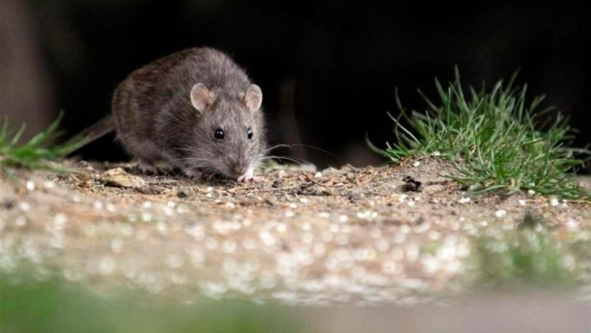 Casos de Hantavirus en Argentina y Chile.El contagio humano es por la inhalación del virus que se adquiere por estar en contacto directo con las heces, orines o saliva de roedores. Agencias