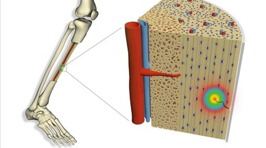 Un mecanismo eléctrico activa la autorreparación de los huesos