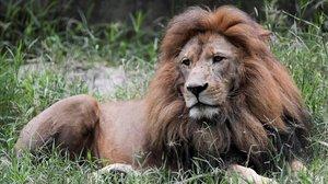 Un león en una imagen de archivo.