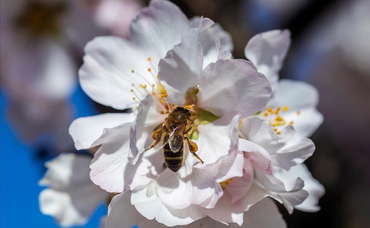 Una abeja recolecta polen en una flor de almendro, hoy en una finca de almendros de secano en el municipio de Bullas (Murcia), cuando las suaves temperaturas del invierno murciano ya tiñen los campos de blanco.