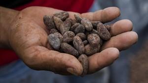 Un hombre muestra unas semillas de cacao secas en Nicaragua