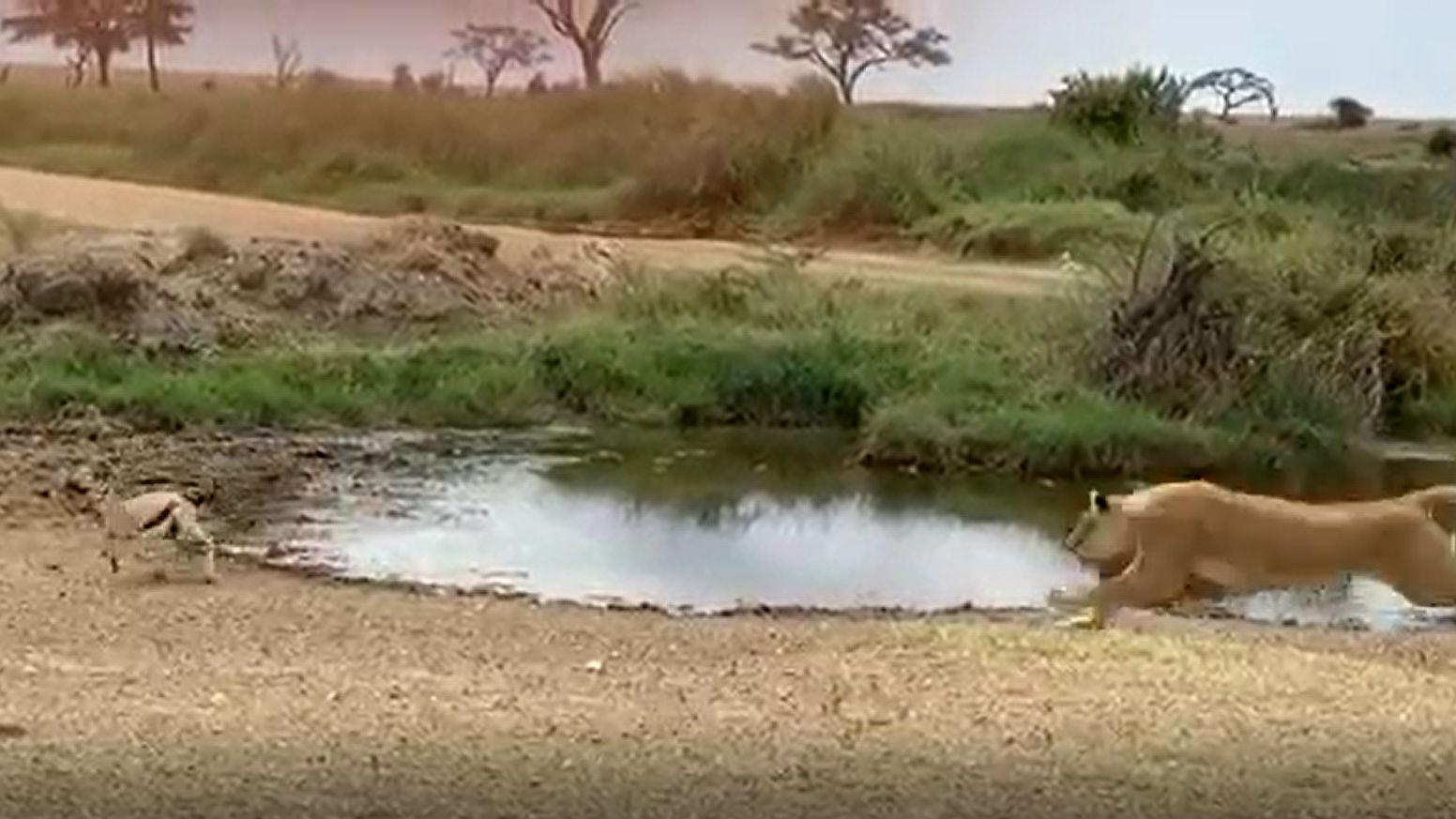 Espectacular esquivament d'una gasela a una lleona al Serengueti, a Tanzània