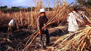 Cosecha de caña de azúcar en el Estado mexicano de Morelos.