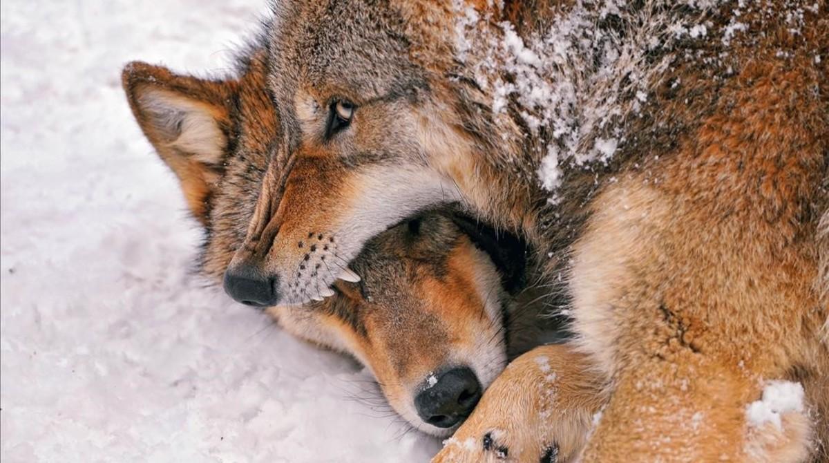 Dos lobos peleando en el zoo de Zúrich.