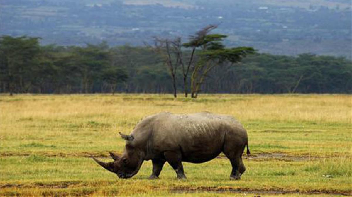 Un rinoceronte en Kenia.