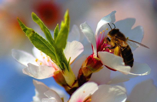 Una abeja, en un almendro en flor.