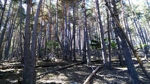 Un bosque muy denso de pino albar en el Pallars Sobirà, con algunos ejemplares caídos.