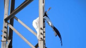Una ave electrocutada en una torre eléctrica en la comarca de la Noguera.