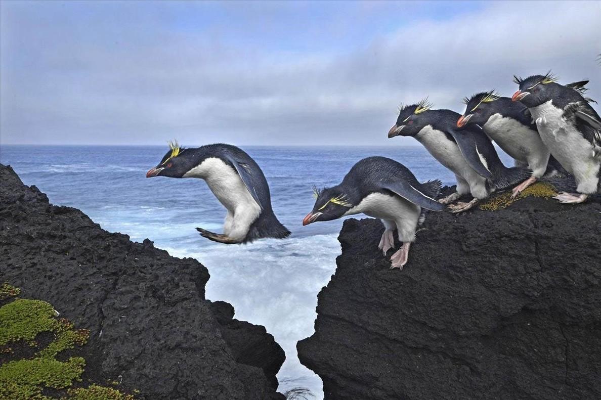 Pingüinos saltando en la accidentada costa de la isla Marion, un territorio antártico sudafricano en el océano Índico.
