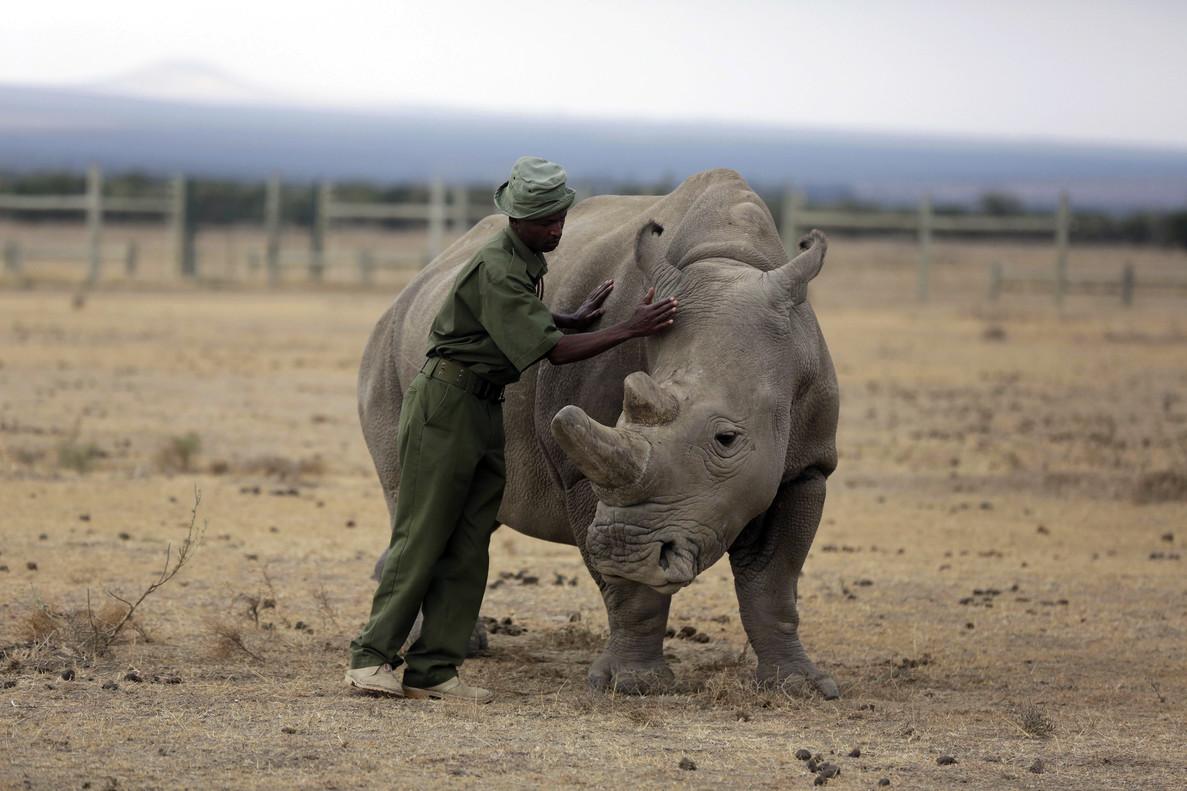 Fatu, uno de los dos ejemplares hembra de rinoceronte blanco del norte que quedan.