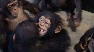 La emotiva bienvenida de un grupo de chimpancés a un bebé maltratado