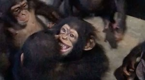 L'emotiva benvinguda d'un grup de ximpanzés a un nadó maltractat