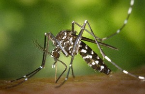 Un mosquito tigre o Aedes albopictus, insecto originario de Asia cuyas poblaciones se han consolidado en varios países del sur de Europa. Es un vector potencial de transmisión de enfermedades como el dengue o el chikungunya.