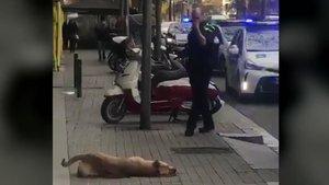 El perro, tras ser abatido por un urbano.