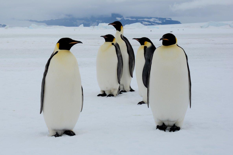 Los famosospingüinos emperador de la Antártida.