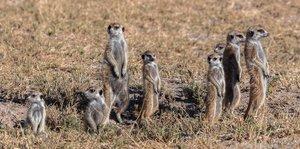 Un grupo de suricatas protegiendo su territorio con danzas de guerra.