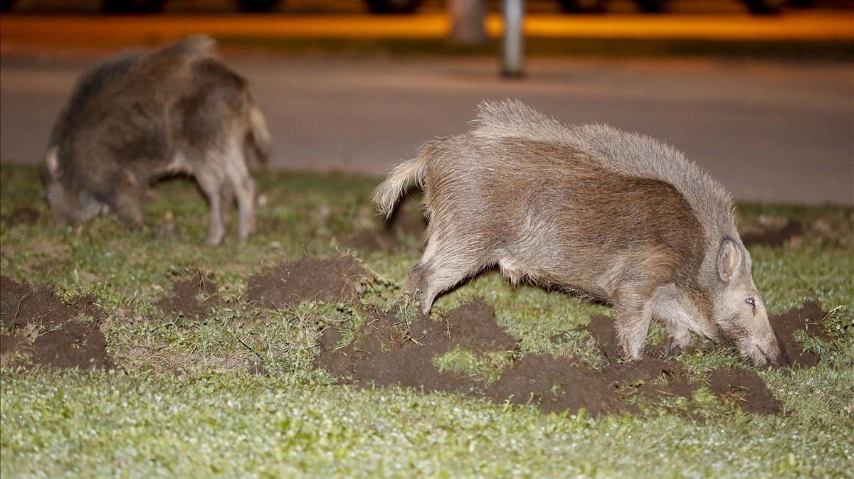 Dos jabalíes se paseana medianoche por el barrio de Mirasol, en Sant Cugat del Vallès.