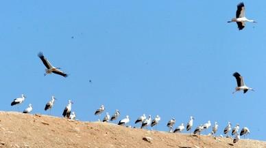 Los vertederos perturban las pautas migratorias de las cigüeñas