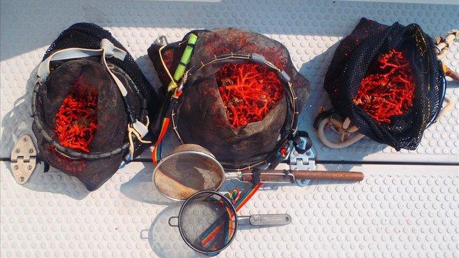 Coral rojo pescado en la Costa Brava.