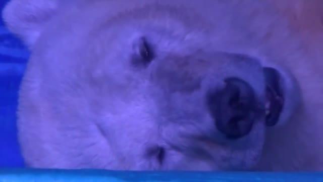 El oso polar encerrado en Granview como atracción turística