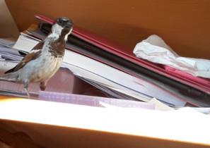 Eustaquio, el pájaro cuya bonita historia se ha hecho viral