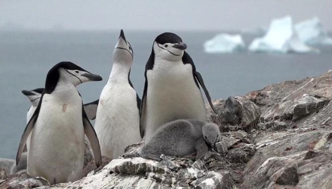 La xifra de pingüins carablancs cau un 77% a l'Antàrtida en 50 anys