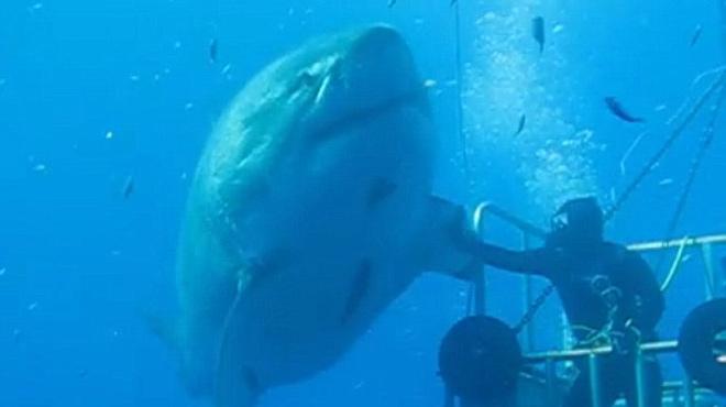 El vídeo del gigantesco tiburón blanco, en la isla de Guadalupe (México)
