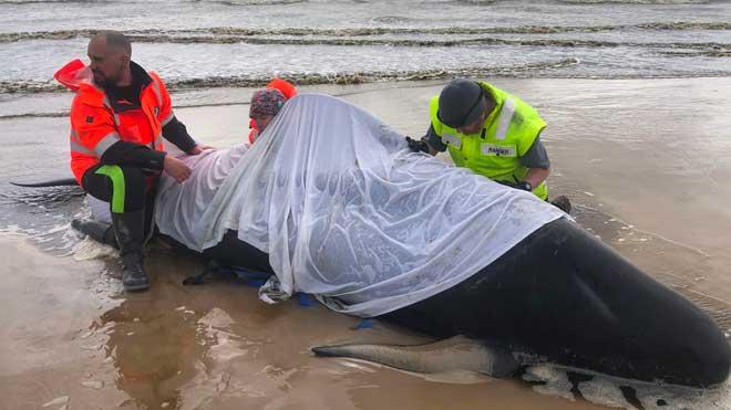 Aumentan a más de 470 las ballenas varadas en el sur de Australia. En la foto, el rescate de una de ellas.